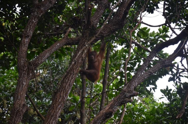 orangutan photo