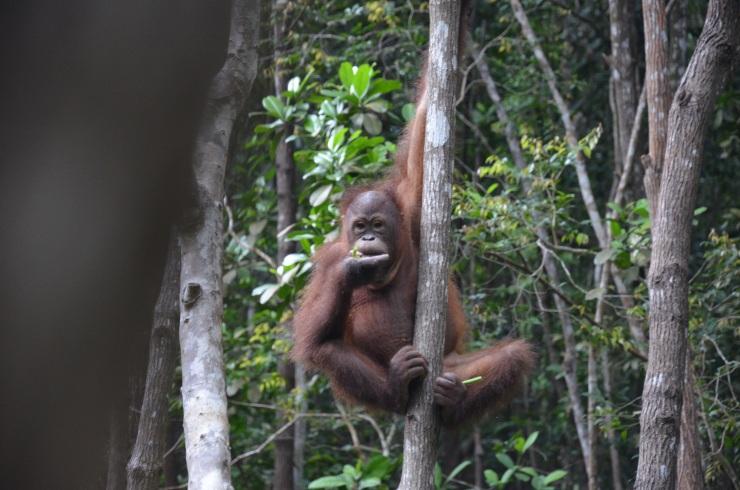orangutan kota kinabalu