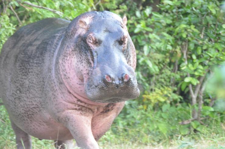 hippo safari Tanzania Selous