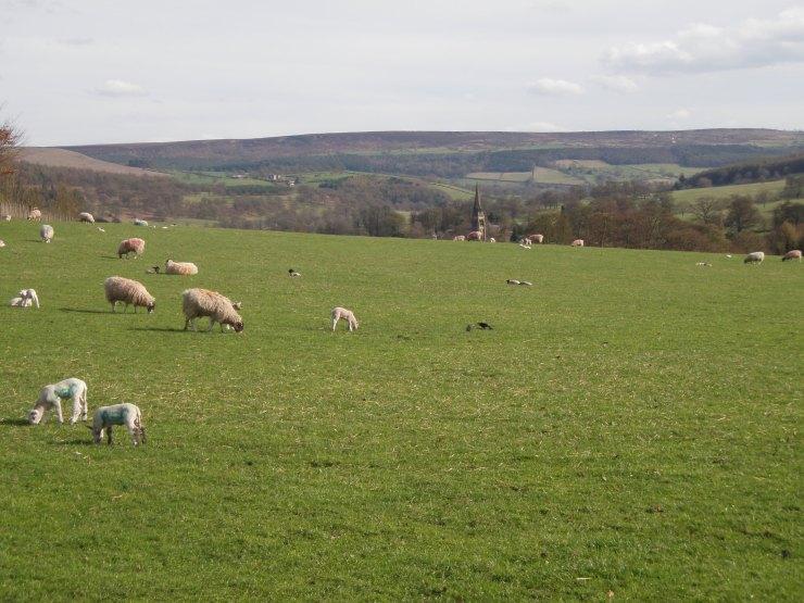 sheep peak district yorkshire dales