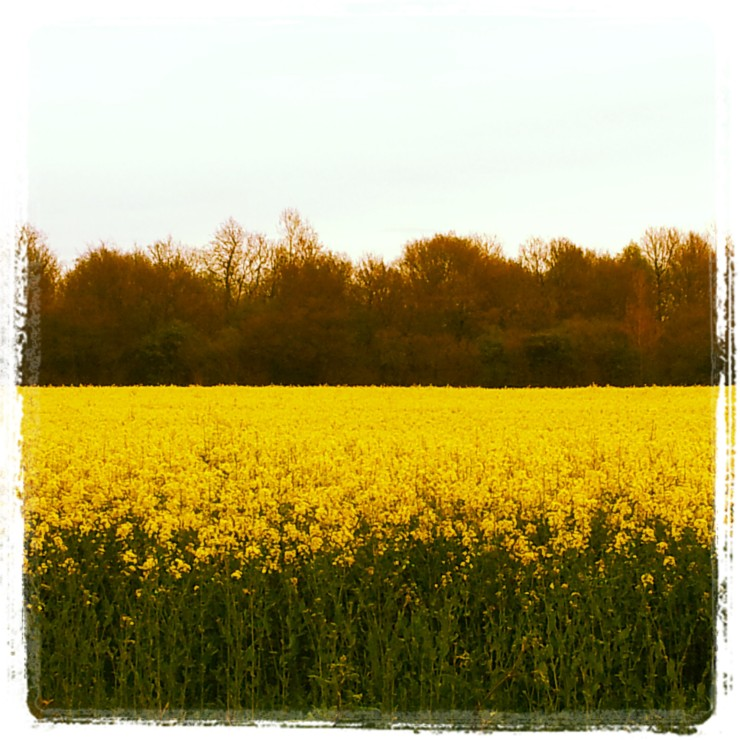 rapeseed field norfolk yellow