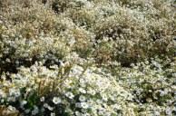 daisies Patagonia