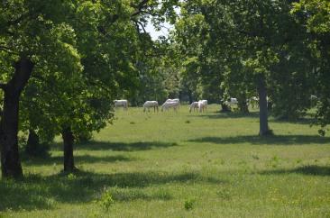 Lipica farm Lipizzaner horses