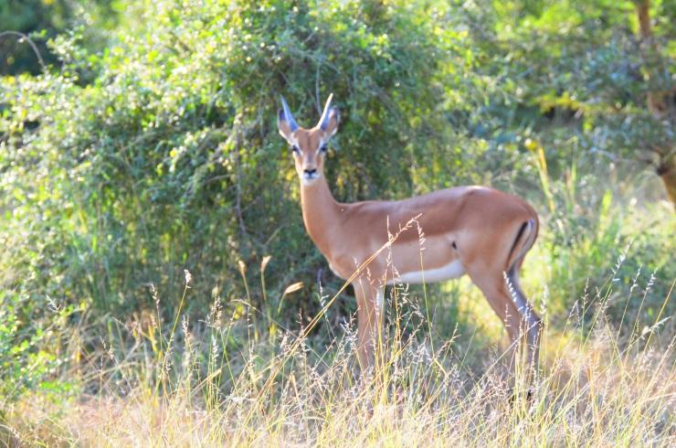 Selous impala safari