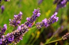 lavender field photo close up