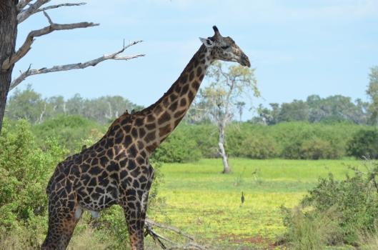 giraffe safari Selous Tanzania