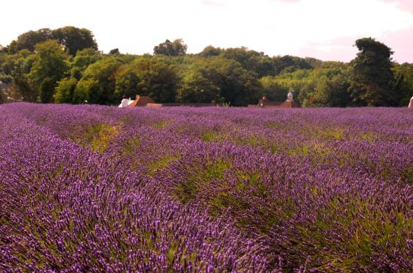 purple lavender fields South London
