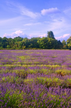 lavender farm London