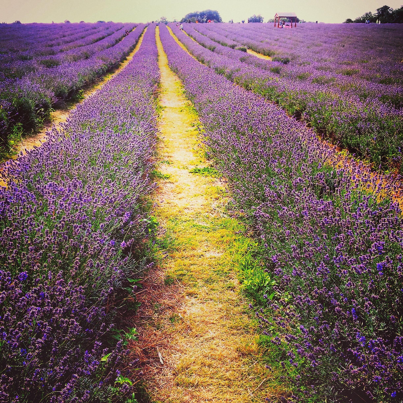 The Mayfield Lavender Fields Surrey A Purple Paradise Near London