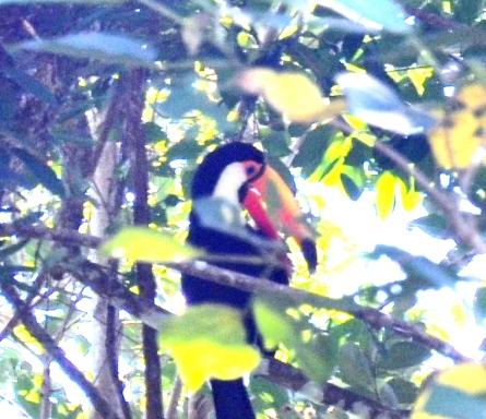 tucan in tree Iguazu Argentina