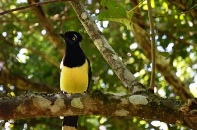 wild yellow bird Iguazu park