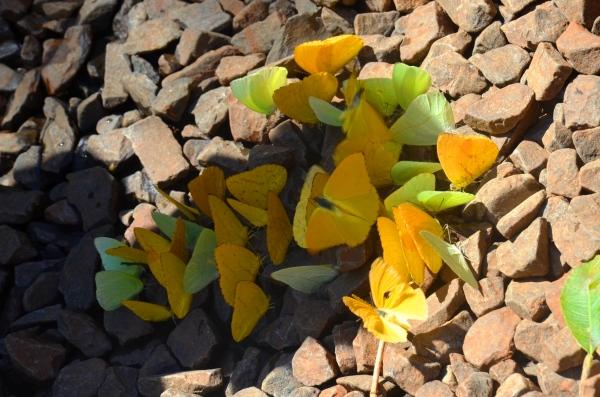 yellow green butterflies Iguazu falls