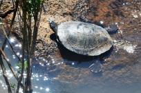 turtle Iguassu