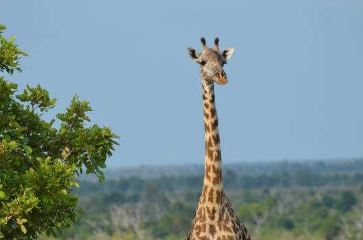 giraffe Tanzania Selous safari