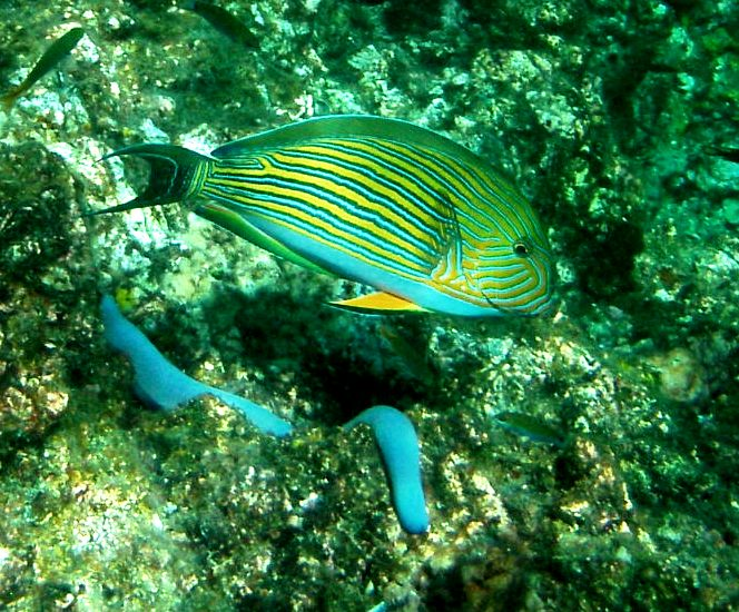 Koh Haa snorkel fish blue yellow striped