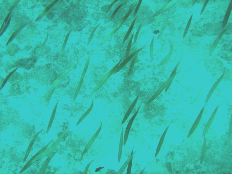 snorkelling Thailand pencil fish