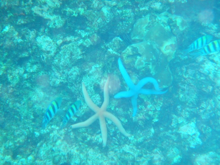 blue white starfish diving Koh Haa