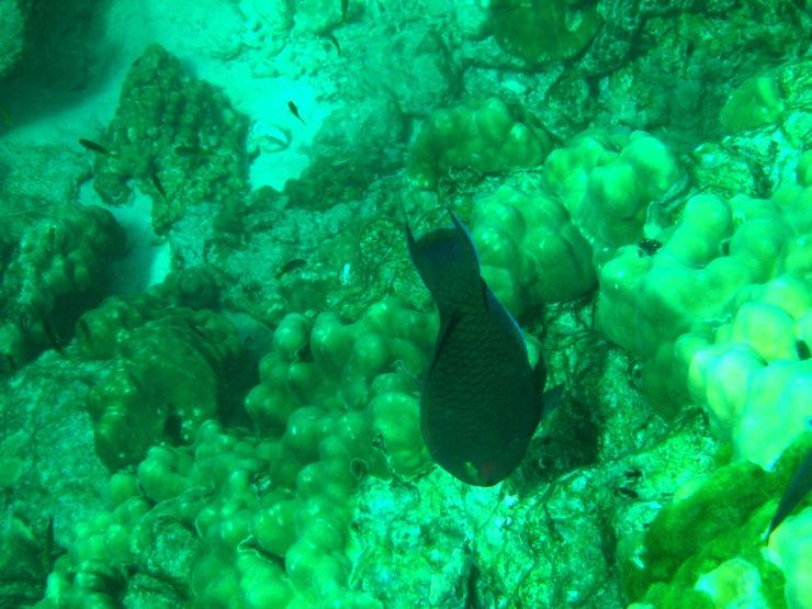 grey black fish snorkel Koh Lanta