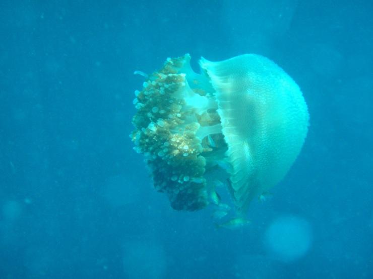 jelly fish Koh Haa Koh Lanta
