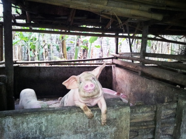 pig family compound Bali