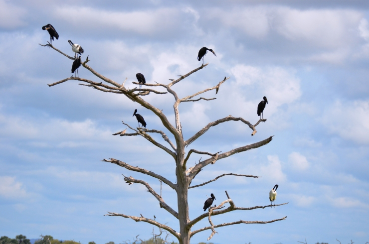 tree of birds Selous safari