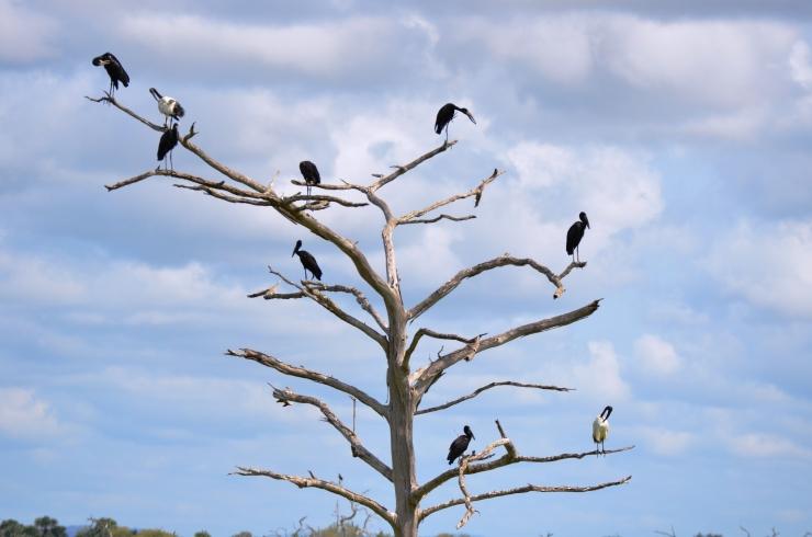 tree of birds Selous safari