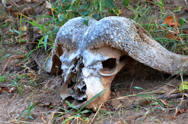 animal skull bones Selous safari