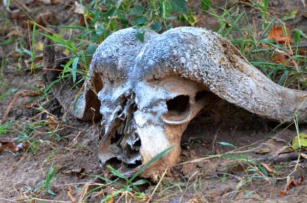 animal skull bones Selous safari