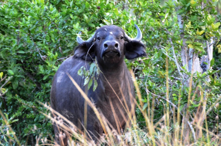buffalo Selous Tanzania