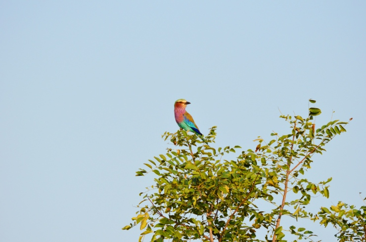 colourful bird Tanzania safari