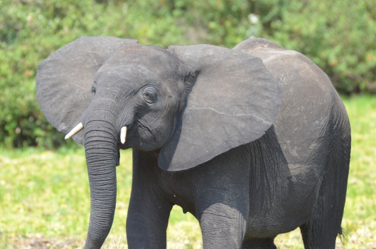 Selous grey elephant safari