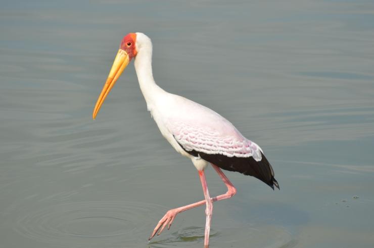 wild birds Selous safari