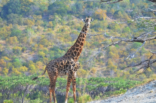 giraffe Selous safari