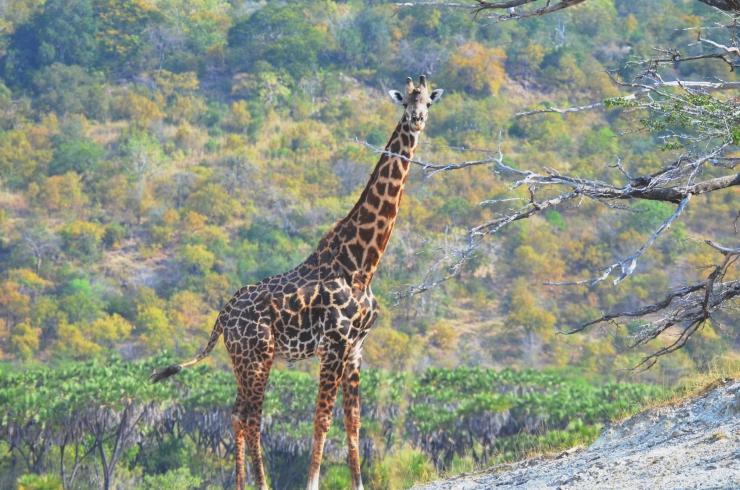 giraffe Selous safari
