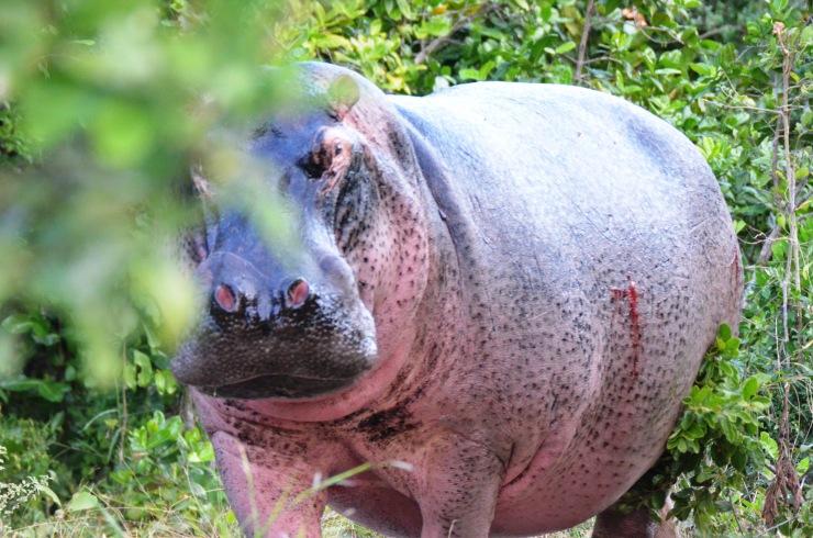 hippo safari Selous