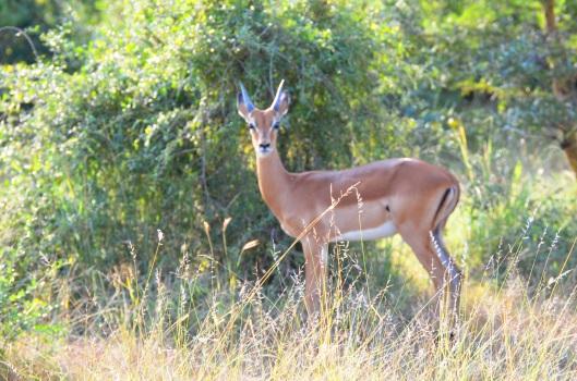 impala Selous Tanzania