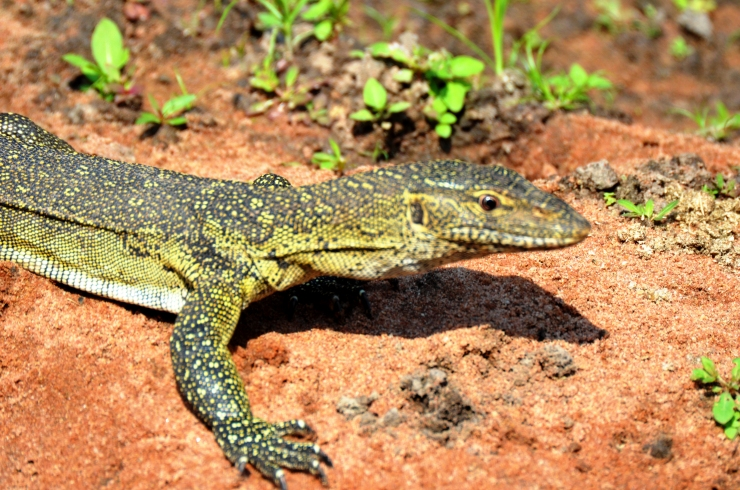 monitor lizard Selous