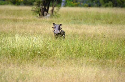 warthog Tanzania safari