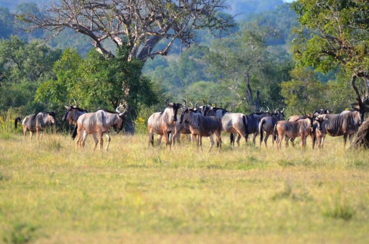 wildebeest Selous safari