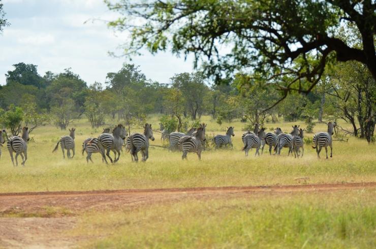 zebras Selous Tanzania safari