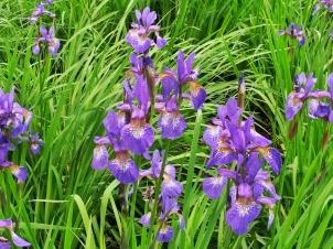 purple flowers Leeds Castle