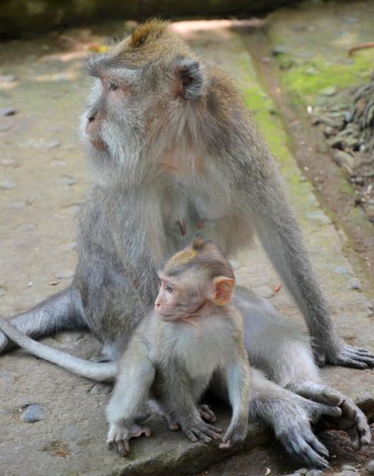baby monkey with mum Ubud Bali