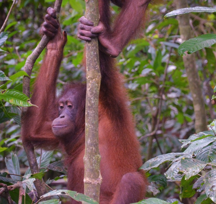 Sepilok Sabah orangutan rehab centre Borneo