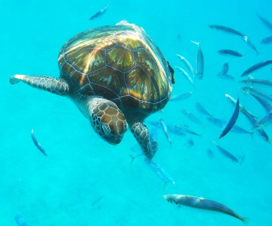snorkel with sea turtles Barbados blog review