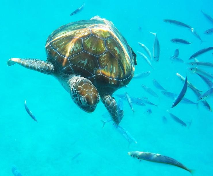snorkel with sea turtles Barbados blog review
