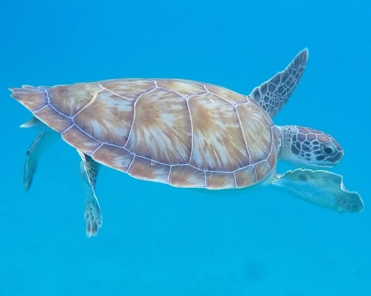 sea turtle snorkelling photos Barbados