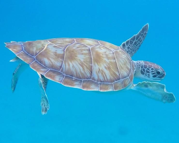 sea turtle snorkelling photos Barbados