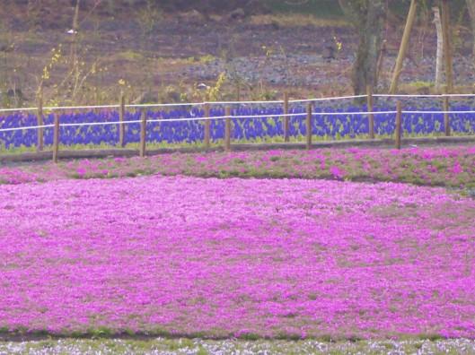 shiba sakura blossom season Japan April May