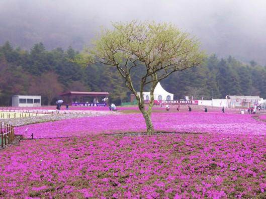 Mount Fuji Shibazakura Festial tour review