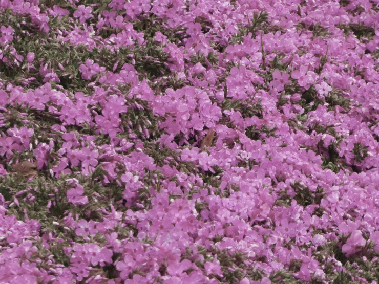 pink moss shiba sakura Japan